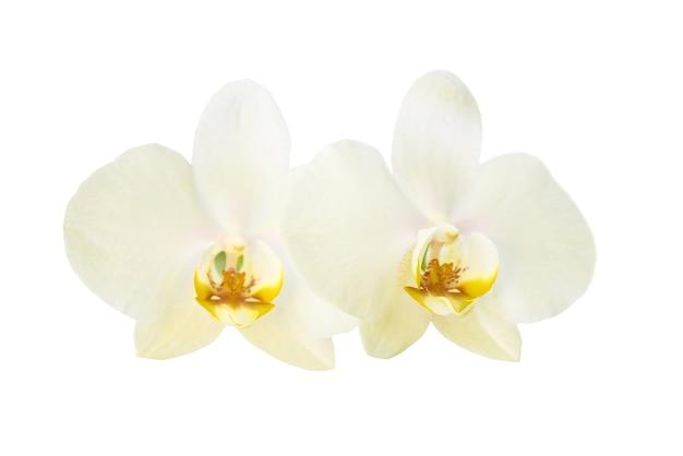 흰색 배경에 고립 된 두 개의 노란색 난초 꽃