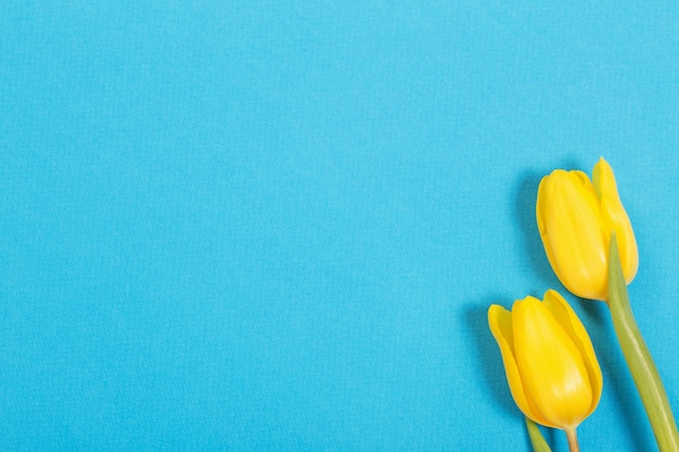 Two yellow tulips on blue background