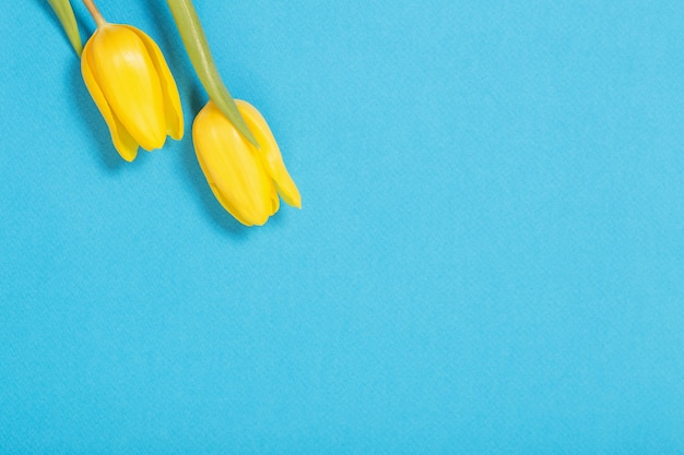 青い背景の上の2つの黄色いチューリップ