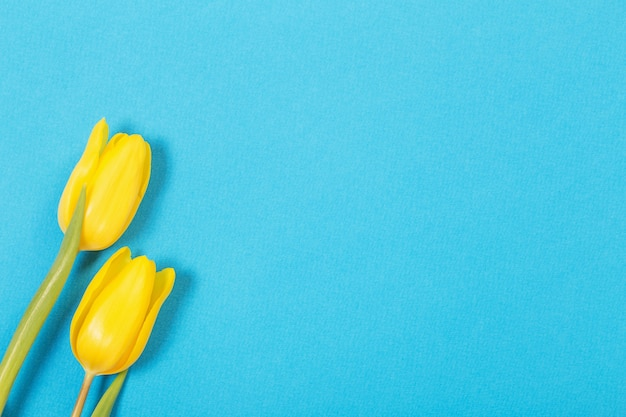파란색 표면에 두 개의 노란 튤립