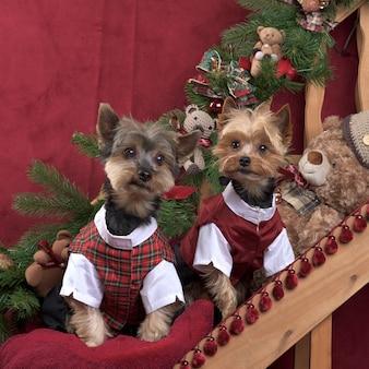 Два йоркшира в шотландском пиджаке позируют в рождественских украшениях