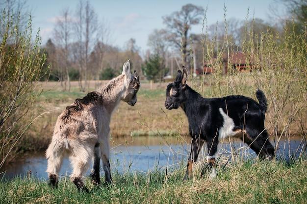 초원의 수역 근처에서 싸우는 두 명의 젊고 작은 염소 게임