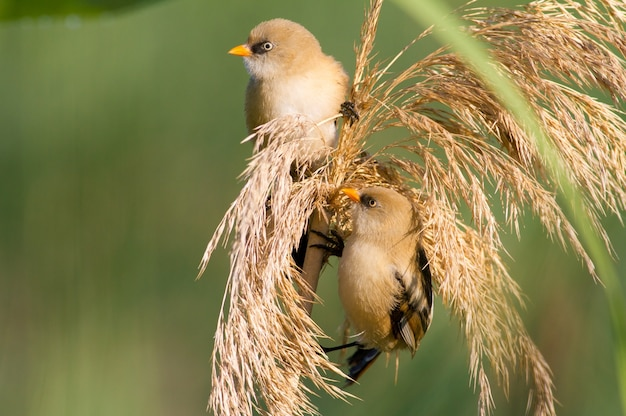 Two young bearded reedling males sit on the top of the reed