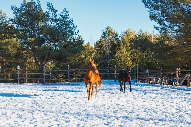 Two young black and red arabian stallions run gallop along the parade ground.