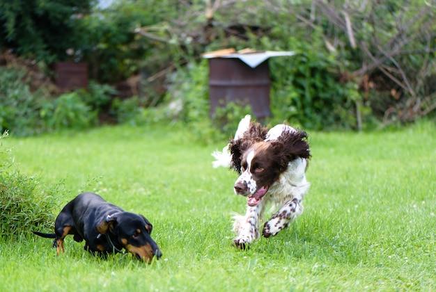 Две молодые собаки играют грубо в летней натуте