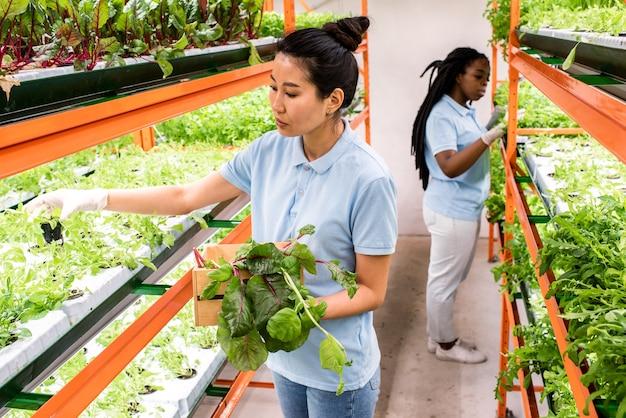 棚に生えている緑の苗の世話をしている2人の若い異文化間の女性温室労働者