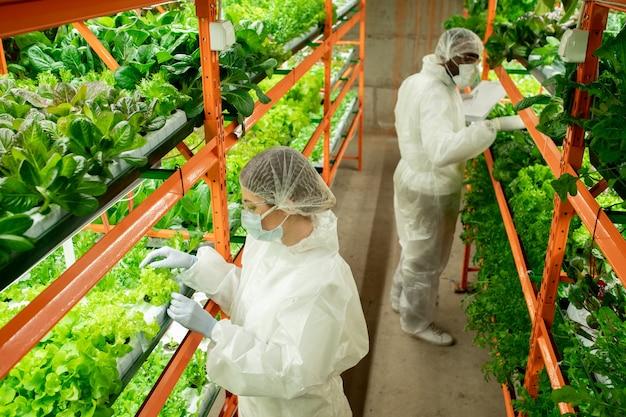 일하는 동안 녹색 상추 묘목이 있는 선반 옆에 있는 보호 작업복을 입은 수직 농장의 두 젊은 이문화 노동자