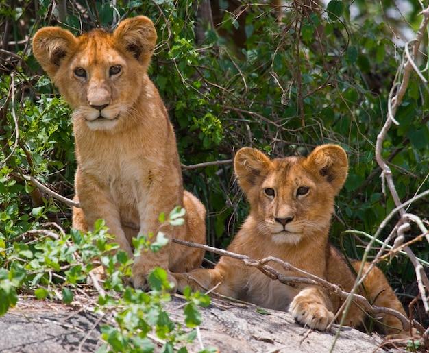 Два молодых льва на большой скале. национальный парк. кения. танзания. масаи мара. серенгети.
