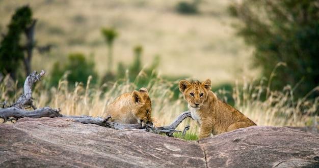 Два молодых льва на большой скале