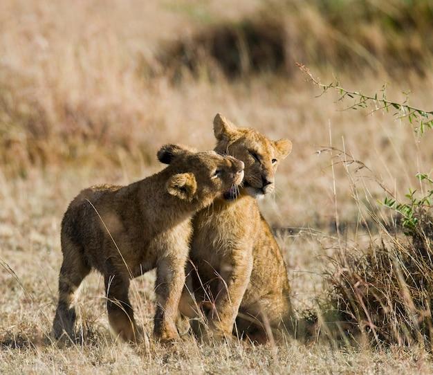Два молодых льва играют друг с другом. национальный парк. кения. танзания. масаи мара. серенгети.