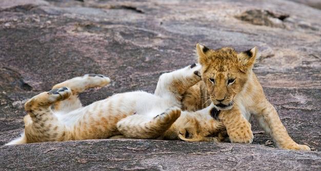 2人の若いライオンが互いに遊んでいます。国立公園。ケニア。タンザニア。マーサイ・マーラ。セレンゲティ。