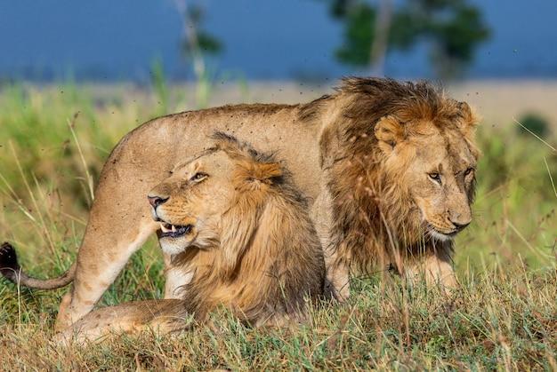 Два молодых льва вместе в саванне.