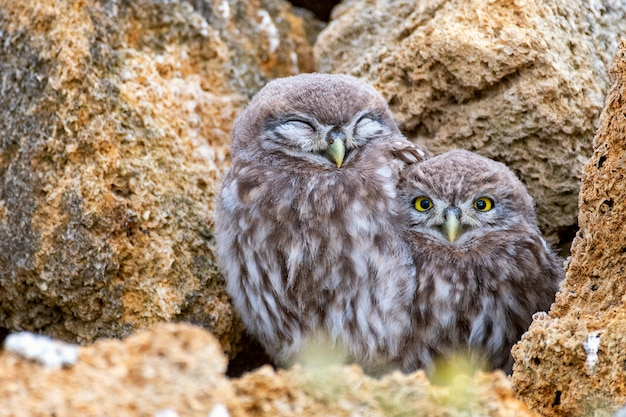 Two young little owl (athene noctua) standing on a stone near their burrows
