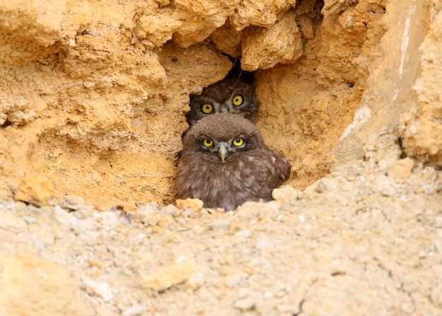 Two young little owls  with yellow eyes looking from their nest