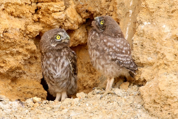 Two young little owls  with yellow eyes watching me from their nest