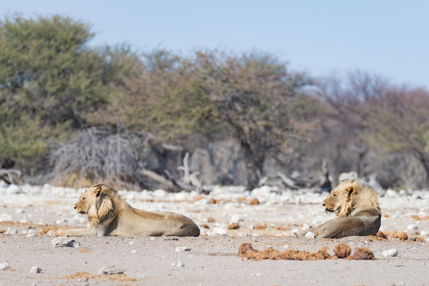 Two young male lazy lions lying down on the ground. zebra (defocused) walking undisturbed. wildlife safari in the etosha national park, main tourist attraction in namibia, africa.
