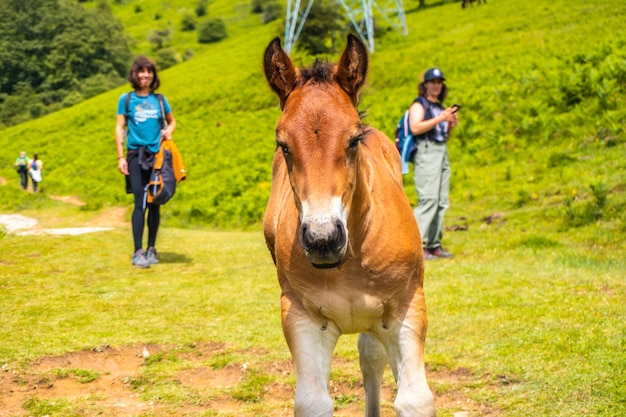 小さな馬を見ている2人の若い男性。ギプスコアで最高のアイスコリ山1523メートル。バスク。 san adrianを登ってoltzaフィールドに戻る