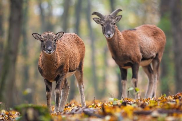 Два молодых муфлона, стоящие в лесу осенью.