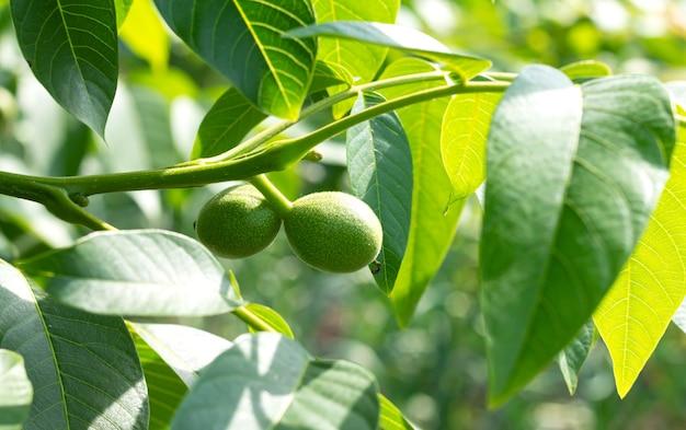 나무 클로즈업에서 자라는 녹색 껍질을 가진 두 개의 어린 유기농 호두
