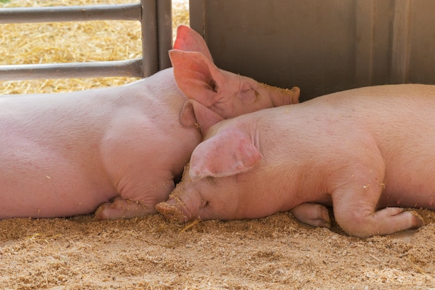 Two young pig together.