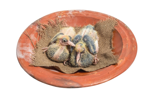 Two young pigeon chicks above a clay dish on white background close up
