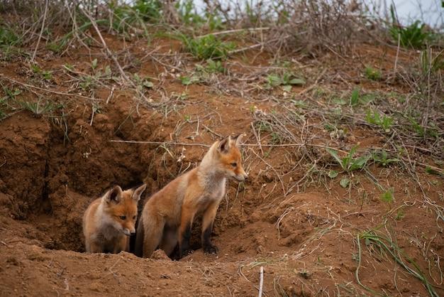 Два молодых рыжих лиса возле его норы. vulpes vulpes крупным планом.