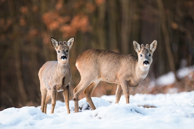Two young roe deer, capreolus capreolus, standing on field in wintertime