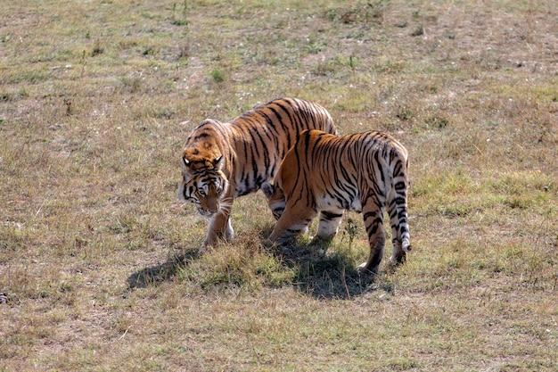 2頭の若いトラが隣同士を歩いています。 1つは私たちの方を向いています。 2番目は横から撃たれます。タイガンパーク