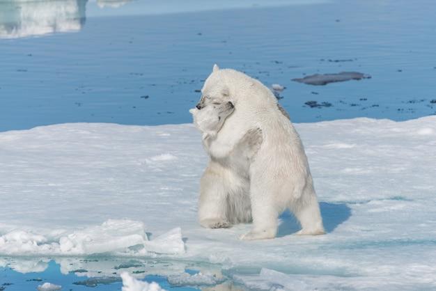 Два молодых диких детеныша белого медведя играют на льду в северном ледовитом море к северу от шпицбергена