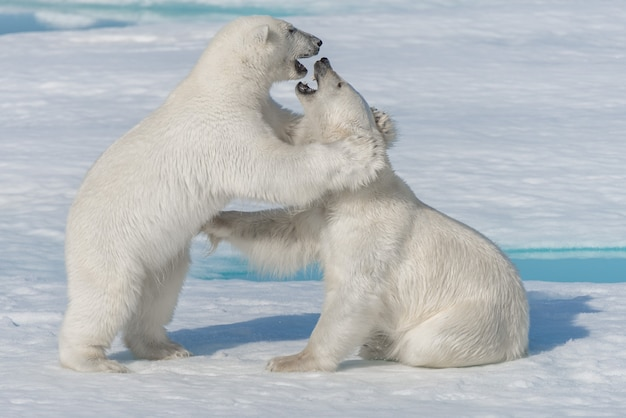 スバールバル諸島北部の北極海のパックアイスで遊ぶ2つの若い野生のホッキョクグマの子