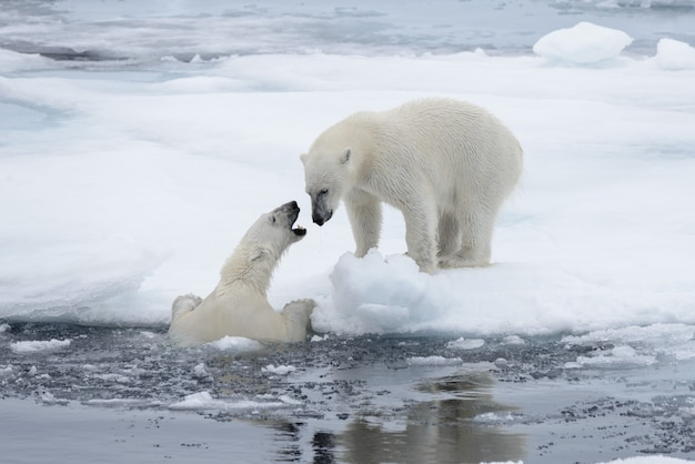 Two young wild polar bears playing on pack ice in arctic sea, north of svalbard