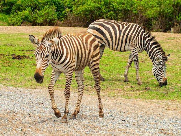 2匹のシマウマが野生の自然の中で歩いて食べ物を食べる