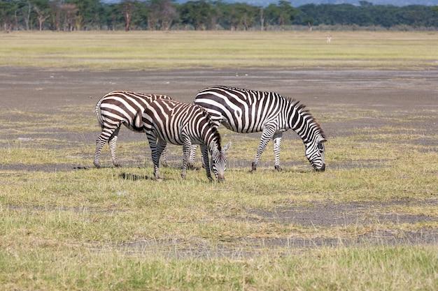 초원, 아프리카에있는 두 얼룩말. 케냐