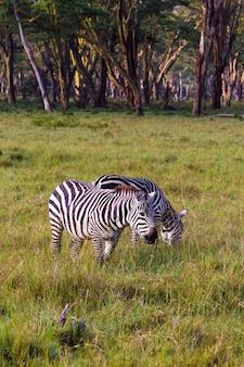 Две зебры в парке озера накуру. кения, африка