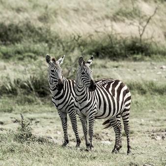 2つのシマウマ、セレンゲティ、アフリカ