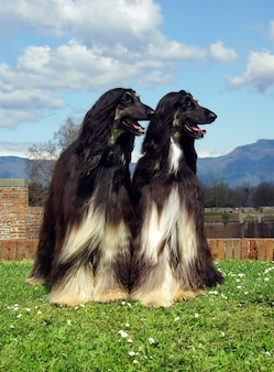 Twol black afghan hound dogs in the garden