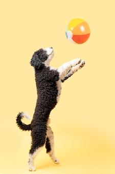 Двуногая водяная собака играет с пляжным мячом на желтом фоне с копией пространства