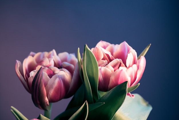 Twoo pink beautiful tulips flowers on blue background