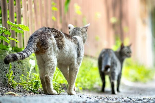 夏の日に屋外の通りを歩いているtwpの灰色と白の縞模様の猫。