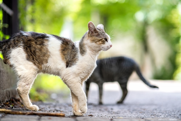 Twp gray and white striped cats walking along the street outdoors on summer day