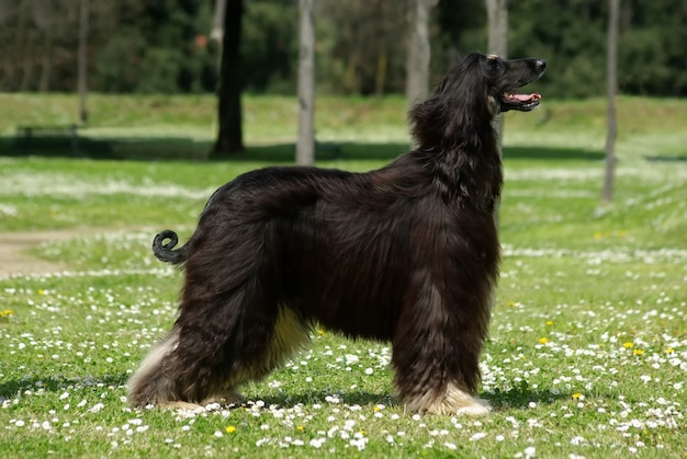 Typical black afghan hound in the garden