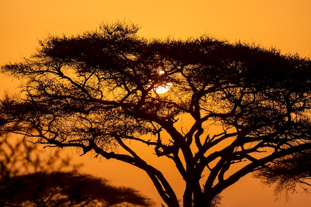 Typical iconic african sunset with acacia tree in serengeti, tanzania.