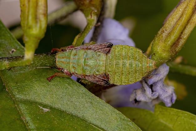 지포니니 부족의 전형적인 잎벌레 님프