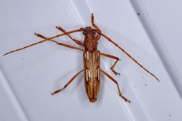 種eburodacrysdubitataの典型的なカミキリムシ