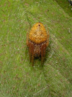 Typical orbweaver spider of the genus eriophora