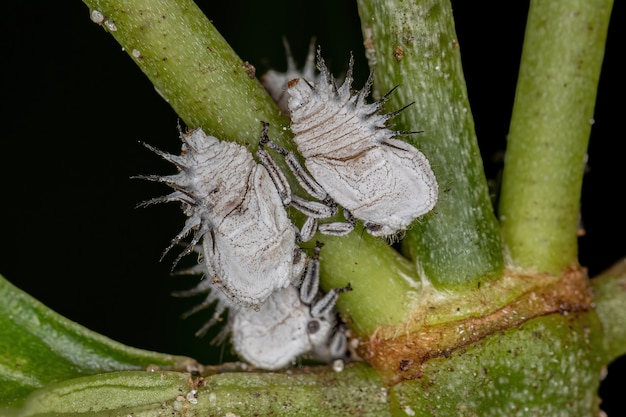 가족 memracidae의 전형적인 treehoppers 님프