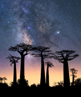 Typical trees of madagascar known as adansonia, baobab, bottle tree or monkey bread with a night sky
