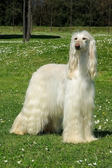 Typical white afghan hound in the garden