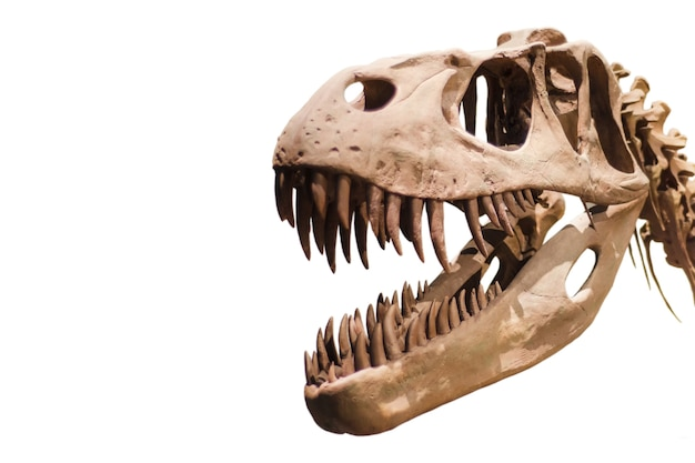 Tyrannosaurus rex head on white isolated background with copyspace