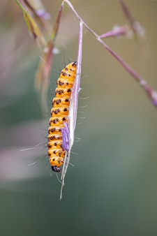 Tyria jacobaeae. caterpillar photographed in their natural environment.